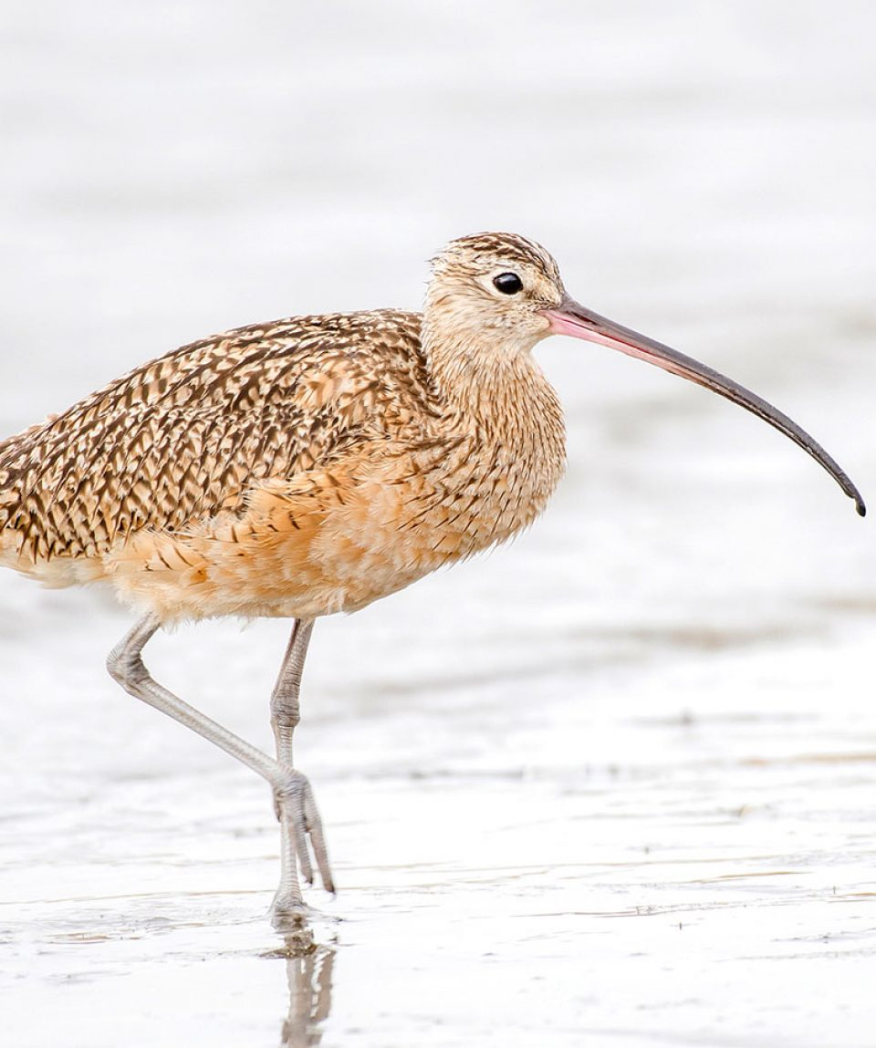 california_curlew2