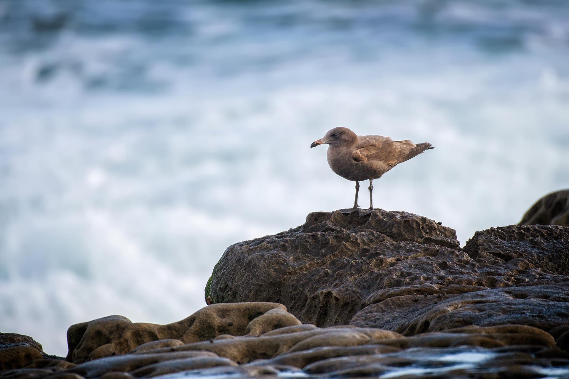 Bird Heermann's Gull