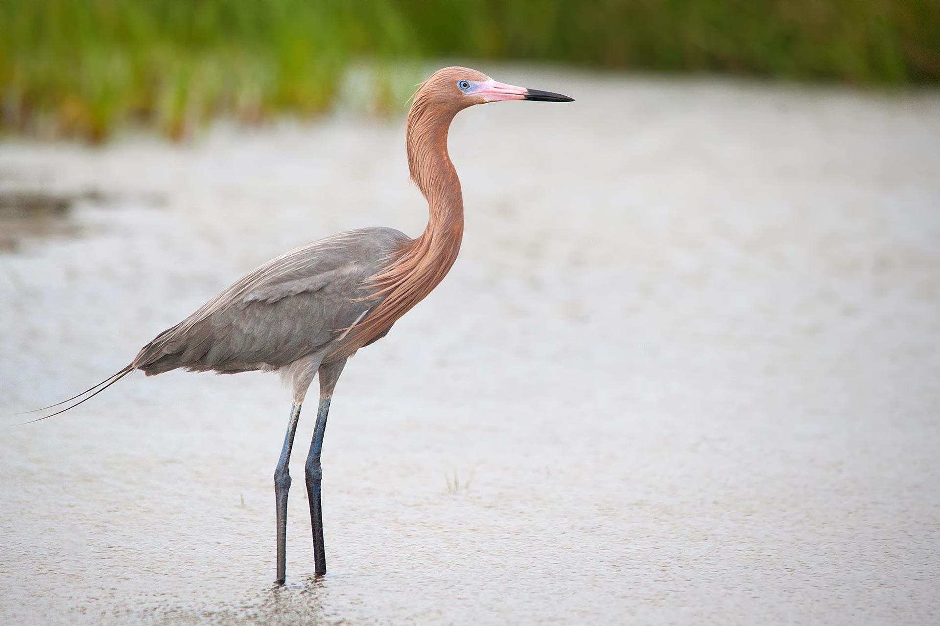 Bird Reddish Egret