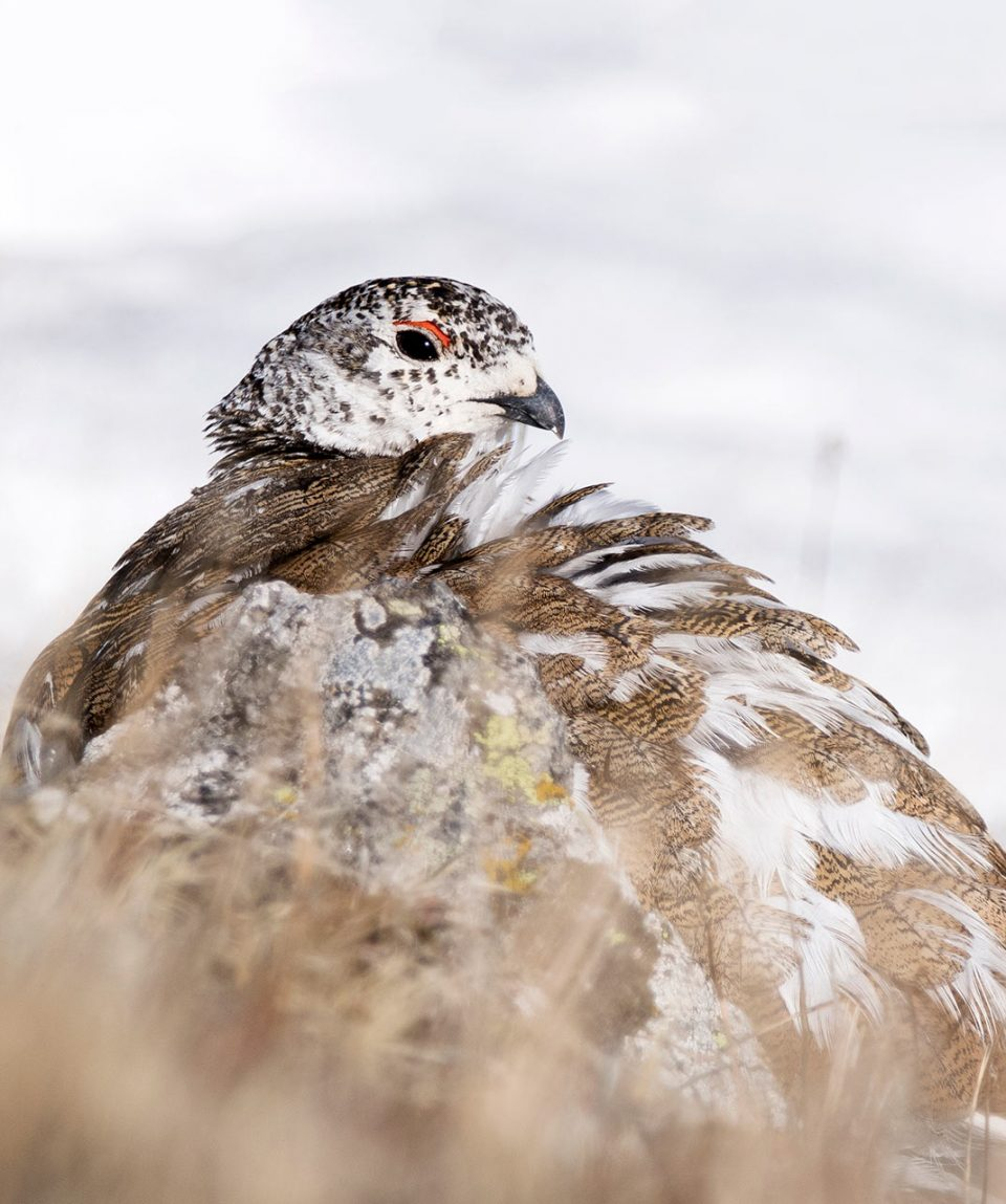 washington_ptarmigan2