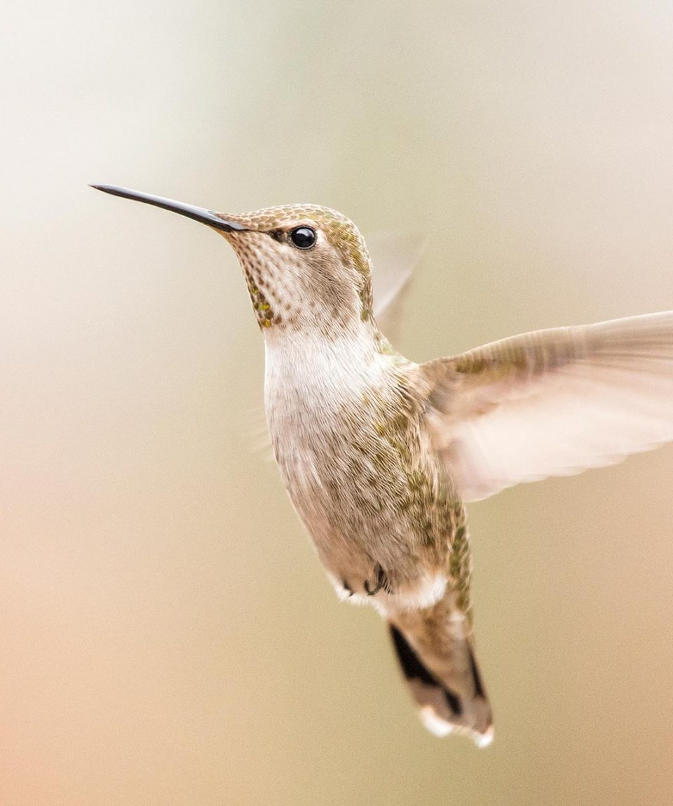 arizona_annashummingbird