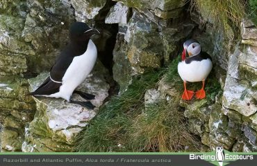 Razorbill and Atlantic Puffin